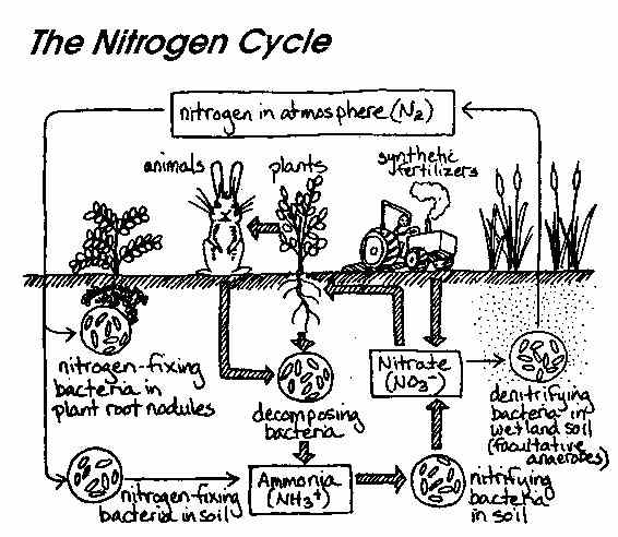 The Nitrogen Cycle Worksheet Answers Virallyapp Printables Worksheets – Water Carbon and Nitrogen Cycle Worksheet Answers